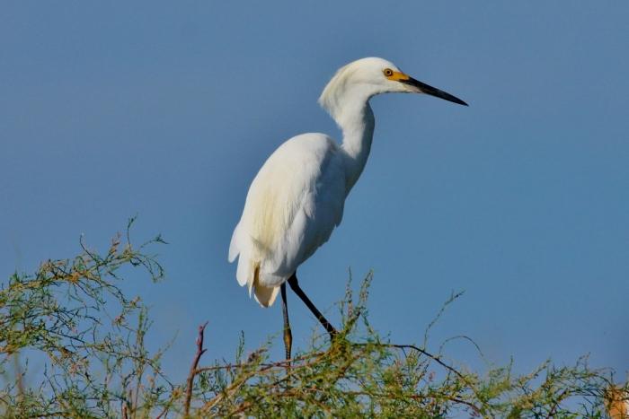 Snowy Egret (30) (1024x684)