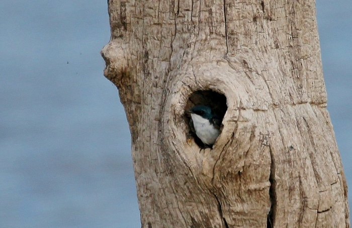 Tree Swallow (1) (1024x664)