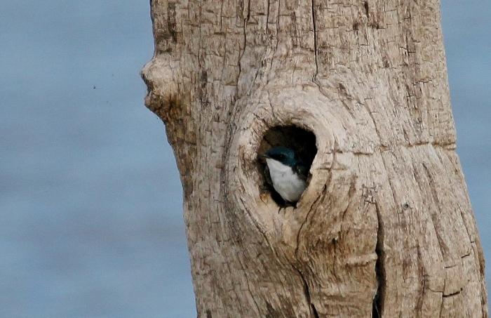 Tree Swallow (1) (1024x664)