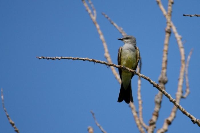 Western Kingbird (13) (1024x684)