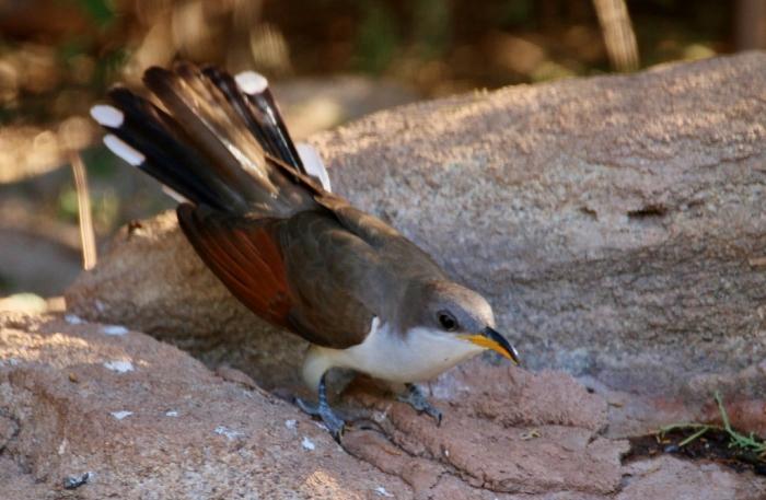 Yellow-billed Cuckoo (11) (1024x669)