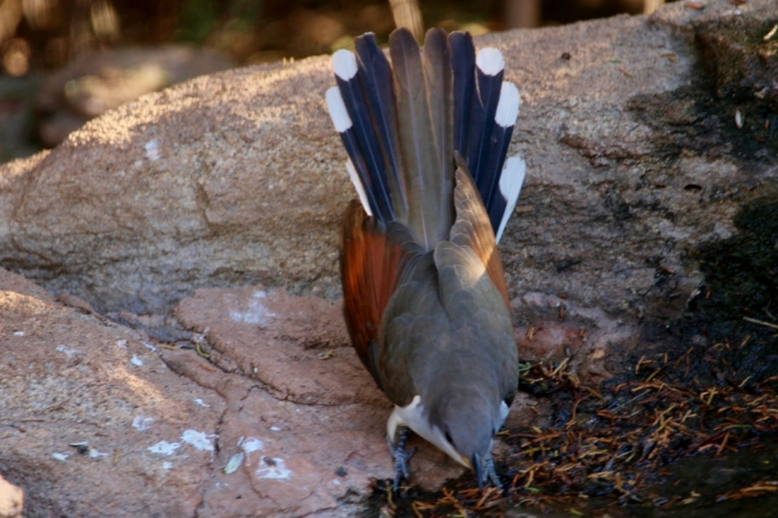 Yellow-billed Cuckoo (12) (1024x683)
