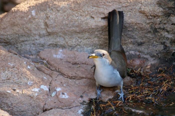 Yellow-billed Cuckoo (13) (1024x684)