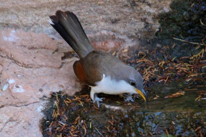 Yellow-billed Cuckoo (19) (1024x684)