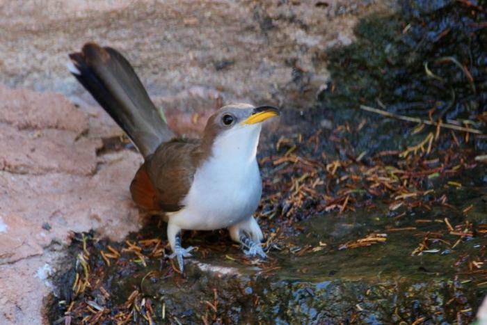Yellow-billed Cuckoo (20) (1024x684)