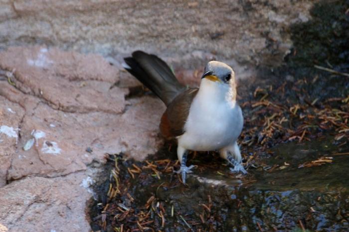 Yellow-billed Cuckoo (22) (1024x684)