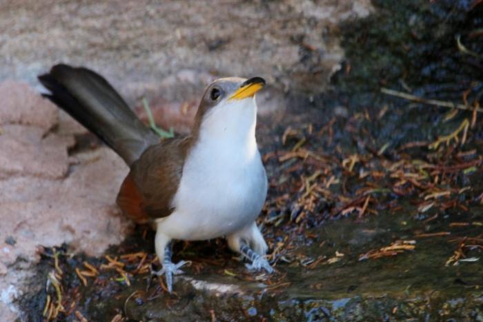 Yellow-billed Cuckoo (23) (1024x684)