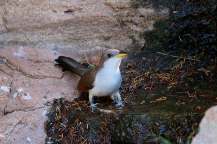 Yellow-billed Cuckoo (25) (1024x683)