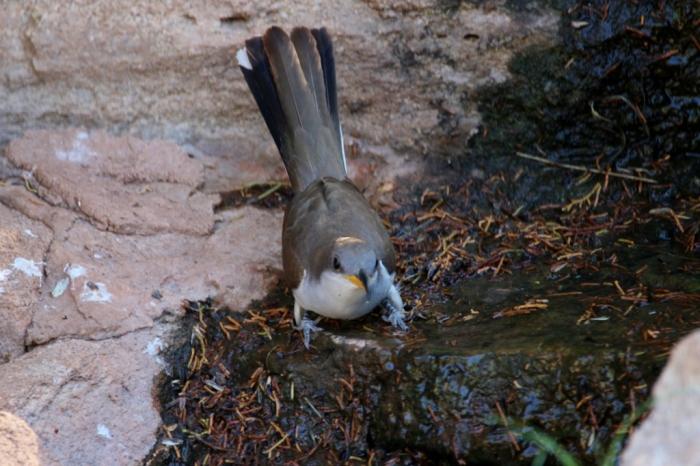 Yellow-billed Cuckoo (26) (1024x683)