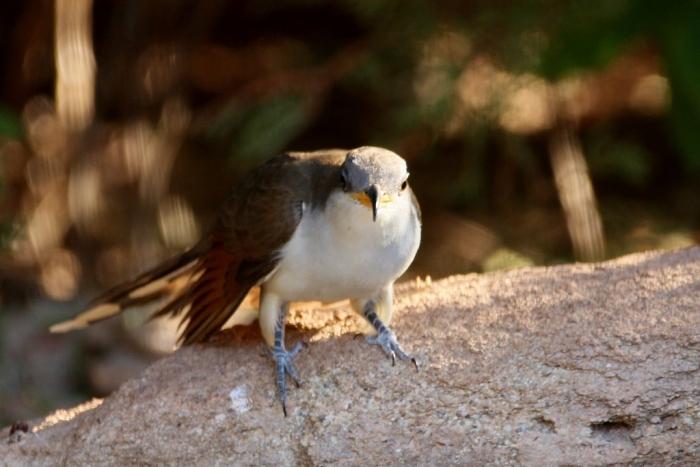 Yellow-billed Cuckoo (3) (1024x684)