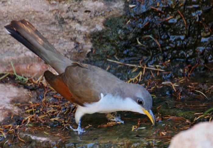 Yellow-billed Cuckoo (32) (1024x713)