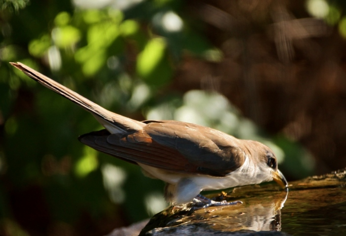 Yellow-billed Cuckoo (36) (1024x701)