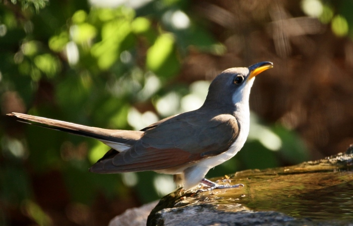 Yellow-billed Cuckoo (40) (1024x656)