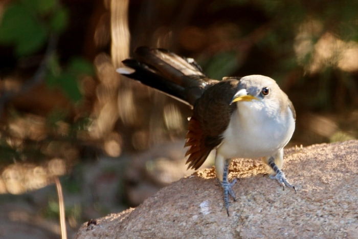 Yellow-billed Cuckoo (6) (1024x684)
