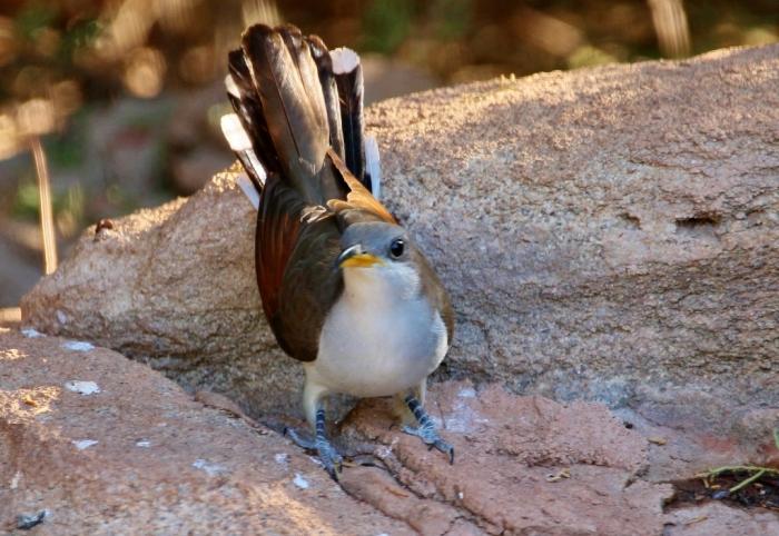 Yellow-billed Cuckoo (8) (1024x706)