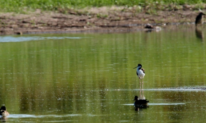 Black-necked Stilt (9) (1024x612)