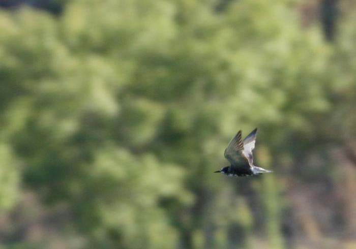 Black Tern (10) (1024x717)