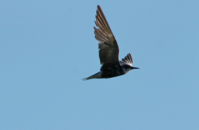 Black Tern (11) (1024x669)
