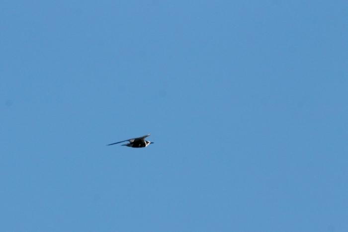 Black Tern (12) (1024x684)