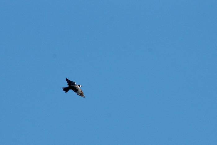 Black Tern (13) (1024x684)