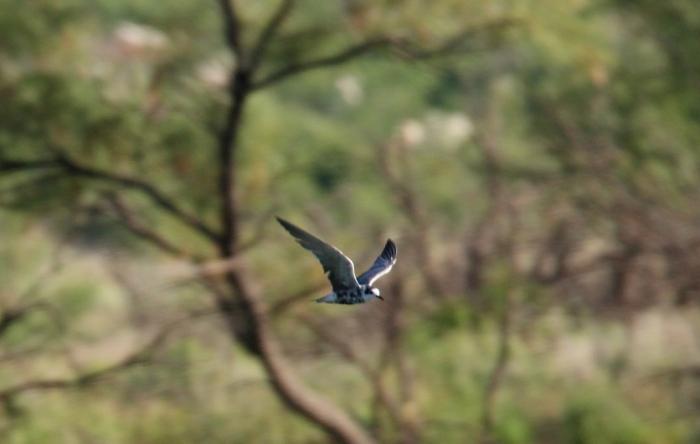 Black Tern (17) (1024x650)
