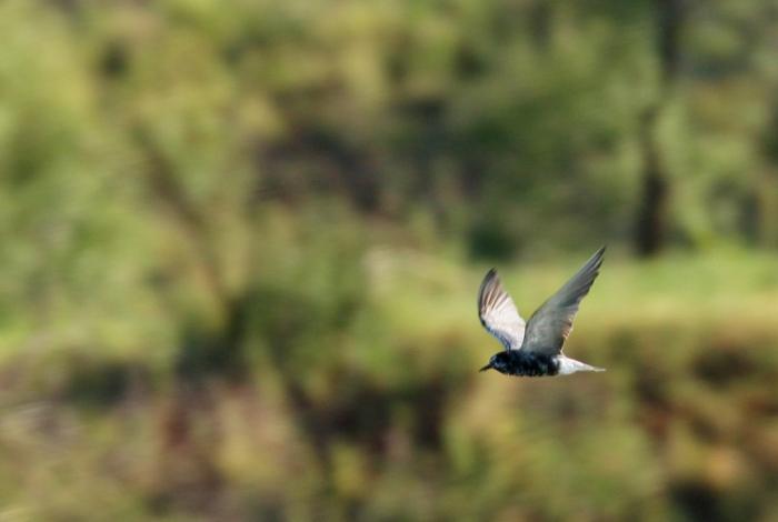Black Tern (21) (1024x688)