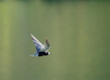 Black Tern (7) (1024x749)