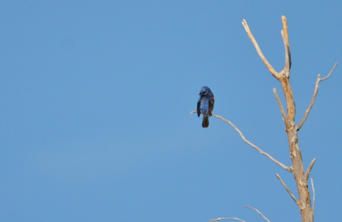 Blue Grosbeak (1024x667)