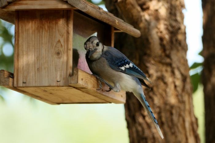 Blue Jay (2) (1024x683)