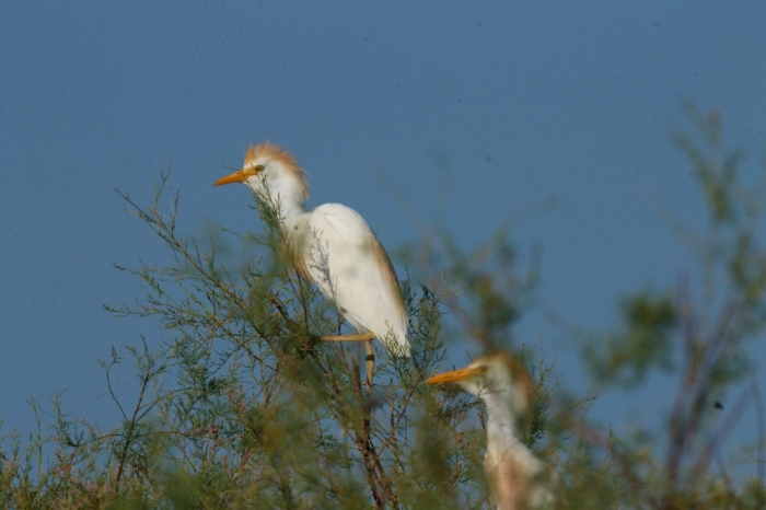 Cattle Egret (40) (1024x683)