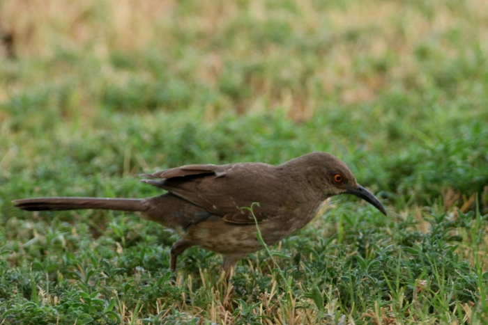 Curve-billed Thrasher (1) (1024x684)