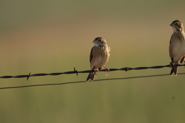 Grasshopper Sparrow (3) (1024x683)