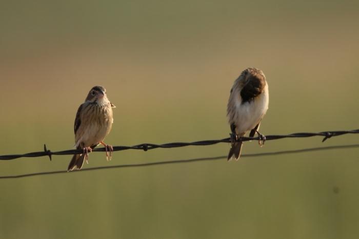 Grasshopper Sparrow (6) (1024x683)