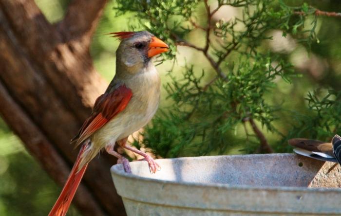 Northern Cardinal (70) (1024x650)