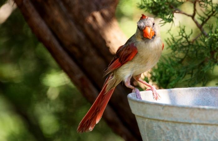 Northern Cardinal (72) (1024x665)
