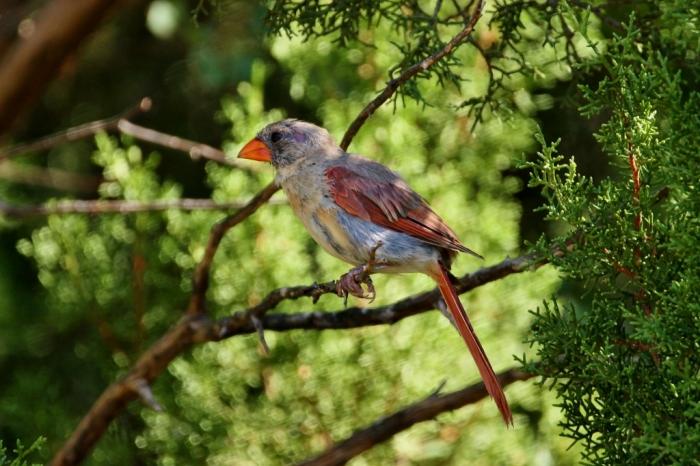 Northern Cardinal (73) (1024x683)