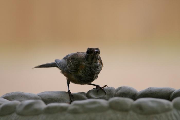 Northern Mockingbird juvenile (5) (1024x683)