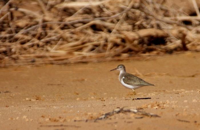 Spotted Sandpiper (26) (1024x665)