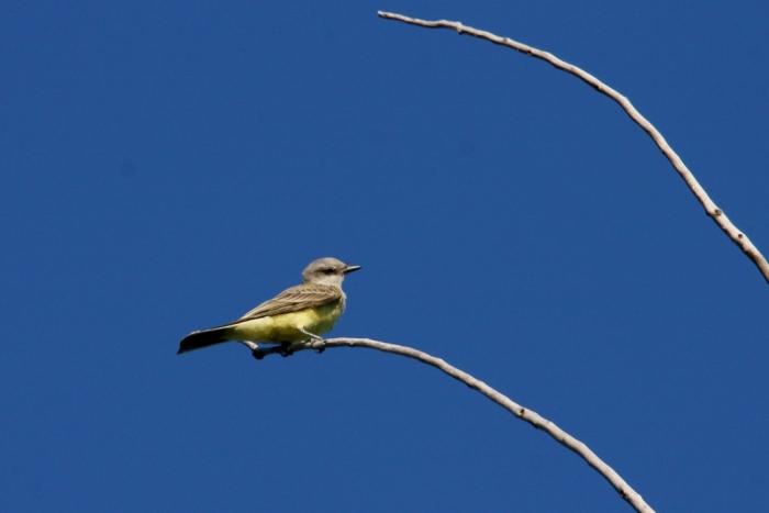 Western Kingbird (14) (1024x684)