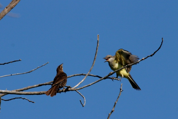 Western Kingbird and Red-winged Blackbird female (3) (1024x684)