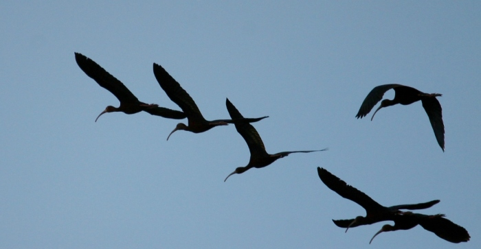 White-faced Ibis (5) (1024x532)