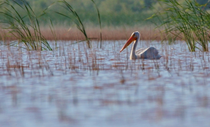 american-white-pelican-106-1024x623