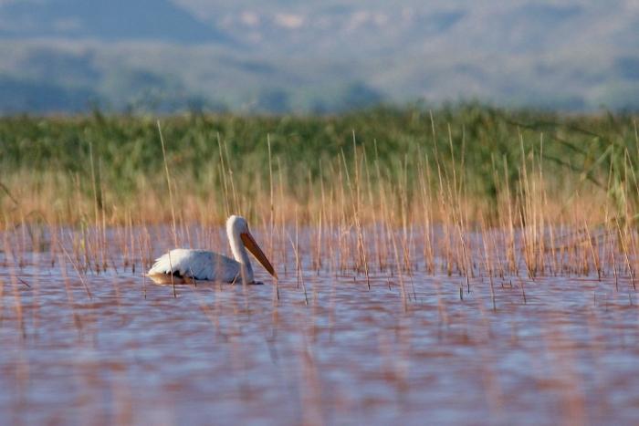 american-white-pelican-112-1024x684