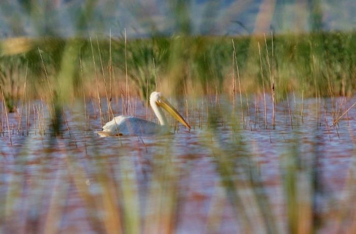 american-white-pelican-113-1024x673
