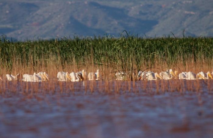 american-white-pelican-119-1024x665