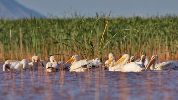 american-white-pelican-130-1024x576