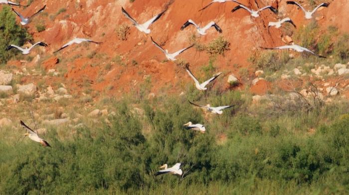 american-white-pelican-133-1024x572