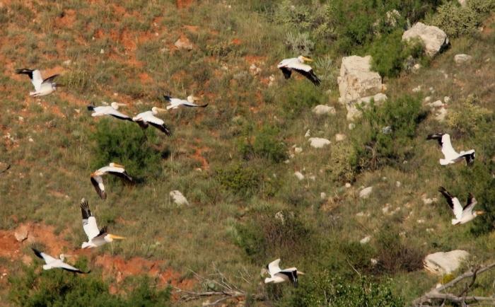 american-white-pelican-134-1024x635