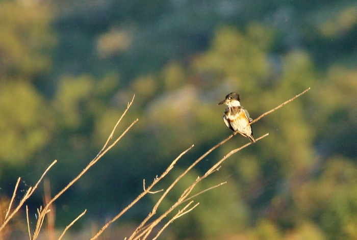 belted-kingfisher-11-1024x690