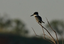 belted-kingfisher-20-1024x703